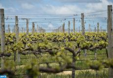 (FILES) This file photo taken on October 28, 2016 shows the vines at winemaker Justin Jarrett's vineyard in Orange.  / AFP PHOTO / PETER PARKS