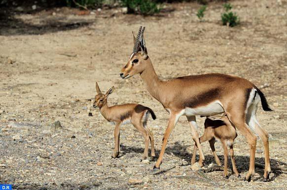 Gazelle-de-Cuvier