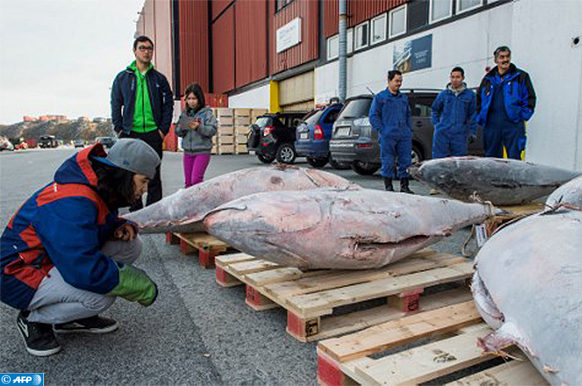 People look at tuna fish caught in the waters off Greenland being loaded at the harbour in Nuuk, Greenland, on September 28, 2014.  New types of fish, as tuna, are  a welcome change for Nuuk's home rule government, which is seeking more sources of income as the economy has to support an ageing population. / AFP PHOTO / Leiff Josefsen