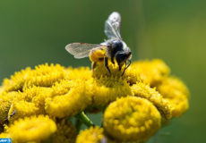 A bee sits on a tansy plant at Mandelsloh, northern Germany on July 18, 2017. / AFP PHOTO / dpa / Silas Stein / Germany OUT