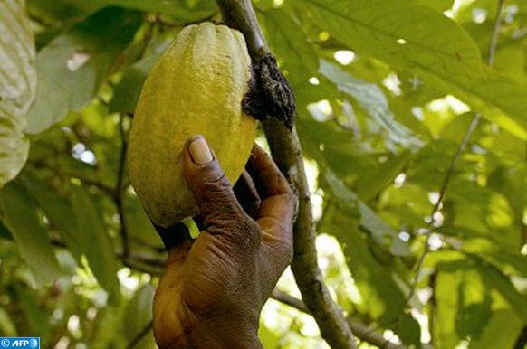 Une cabosse mûre de cacao reconnaissable à sa couleur jaune vert se cueille, le 29 octobre 2002, sur l'arbre d'une plantation près de Vavoua. C'est en cette période de l'année que la récolte a lieu en Côte d'Ivoire, premier producteur mondial de cacao. En raison des évènements actuels dans ce pays, les producteurs de cacao ne peuvent plus écouler leur production. Les opérateurs (intermédiaires entre les producteurs et les exportateurs) ne disposent pas de la liquidité nécessaire pour l'achat du cacao en raison de la fermeture des banques et de l'impossibilité de se déplacer librement dans le pays coupé en deux entre la rébellion et le pouvoir en place.  AFP PHOTO PHILIPPE DESMAZES / AFP PHOTO / PHILIPPE DESMAZES