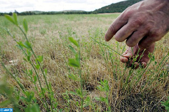 Un paysan-éleveur du Larzac Francis Roux examine les dégâts occasionnés sur son champ de luzerne par de nombreux criquets, le 19 juillet 2005 à la Couvertoirade. Les criquets qui pullulent depuis le mois de juin dernier dans le sud de l'Aveyron se sont répandus en arrivant à l'âge adulte jusqu'à plusieurs dizaines de kilomètres de leur épicentre, autour de Saint-Affrique. AFP PHOTO ERIC CABANIS / AFP PHOTO / ERIC CABANIS