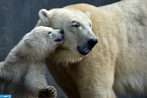 Mother bear Giovanna (R) is pictured with her four month young baby bear at the zoo of Hellabrunn in Munich, southern Germany, on March 23, 2017, after the naming event.  The little polar bear was named Quintana.  / AFP PHOTO / Christof STACHE