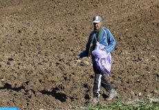 Agriculture , opération semence, semis manuel (Plaine du Saïss 17 :12 :16 )