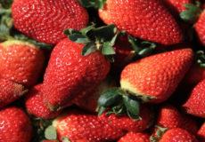 Récolte de la fraise à Moulay Boussalham. Agriculture, fraise, fruits rouges, récoltes, exploitation, sous-serre