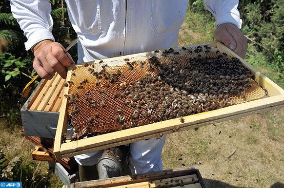 """POUR ILLUSTRER LE PAPIER DE ARNAUD BLAIN: """"  L'ILE D'OUESSANT, SANCTUAIRE DES ABEILLES NOIRES, SAUVEES DE LA DISPARITION """"  Un apiculteur inspecte une ruche le 06 juillet 2010 sur l'île d'Ouessant dans le Finistère. L'abeille noire qui avait presque disparu en France a repeuplé une grande partie de la Bretagne, sa région d'origine, et plus particulièrement à Ouessant, une île préservée de la pollution et des pesticides. AFP PHOTO FRED TANNEAU / AFP PHOTO / FRED TANNEAU"""