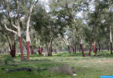 forêt de Benslimane