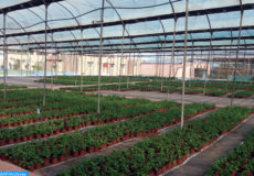 A quelques mètres de la plage Tamaris de la commune Dar Bouaaza (province de Nouacer), se situe le projet modèle de pépinière de fleurs et de plantes aromatiques de Hassan Chakboub (56 ans), ex-marocain résidant à l'étranger. (27/11/16)