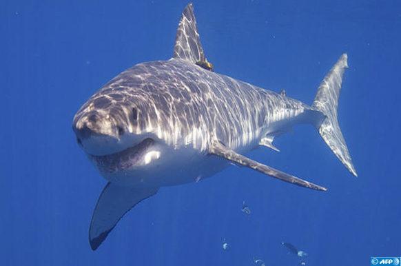 requin_9
