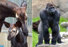 Okapi et gorille