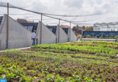 epa06964740 Steven Beckers, founder of Building Integrated GreenHouses (BIGH), looks at products at the Bigh Urban Farm in Brussels, Belgium, 22 August 2018. The agricultural farm on the roof of a food hall in Anderlecht is said to be the largest suspended farm in Europe covering a space of 4,000 square meters (m2) with 2,000 m2 in greenhouses and another 2,000 m2 in open fields. Beckers aims to extend the model to other sites in Brussels, but also in whole Belgium and other European countries such as France or Italy, where talks to build this kind of urban farms were already underway.  EPA-EFE/STEPHANIE LECOCQ