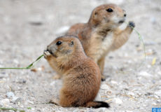 epa02753222 A baby prairie dog munches a blade of grass with a family member at the Zoo in Hanover,Germany, 26 May 2011. In total, there are four new prairie dog babies in the Canadian landscape Yukon Bay at the zoo in a family of 16.Jochen Luebke  EPA/JOCHEN LUEBKE
