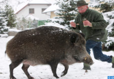 Pensioner Guenter Kuhla feeds his uncommon house pet wild boar Max in Spremberg, Germany, 25 November 2008. As piglet Max went astray and landed at the Kuhla's family farm, where the 160 kilogramme boar continues to live at a 1000 square metres large enclosure. Hunter Guenter Kuhla had asked for an exceptional permission to keep the pet. Max' favourite food is poppy-seed cake and cat food, which it eats directly from a spoon.  EPA/PATRICK PLEUL
