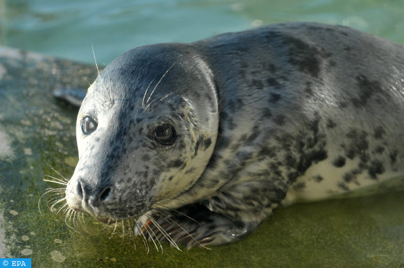 epa03055182 Gray seal 'Lina' is seen at the seal sanctuary in Norddeich, Germany, 10 January 2012. Four week old 'Lina' has been at the seal sanctuary since end of December 2011.  EPA/CARMEN JASPERSEN