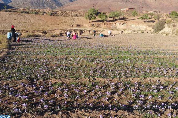 Azilal : Cultuure du Safran