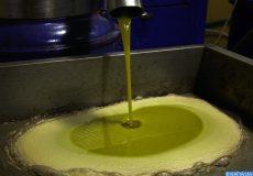 Olives, huile d'olive, collecte d'olives, Oléiculture, filière oléicole. Tunisie (05/09/17)