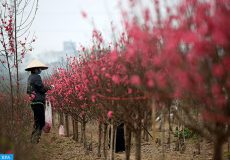 epa07328700 A woman tends to a peach blossom orchard in a garden in Hanoi, Vietnam, 29 January 2019. Vietnam is preparing for Lunar New Year, the most important holiday of the year. On Lunar New Year, or Tet, people usually buy peach blossom, apricot blossom, kumquat trees and other flowers for decoration to celebrate the new year.  EPA-EFE/LUONG THAI LINH
