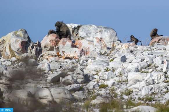 epa07164442 A troop of Baboons sit amongst Lichen covered rocks surrounded by recovering indigenous Fynbos vegetation in the Cape Point Reserve part of the World Heritage site Table Mountain National Park, Cape Town, South Africa, 14 November 2018. With the onset of summer much of the Cape Point reserve is blooming with new life following a devastating fire in November 2017. According to local botanists, fire is a keystone process without which many plants in the Fynbos would not be able to regenerate, produce offspring or reproduce. Fynbos plants are either resprouters or reseeders, they can resprout after a fire has passed through or they produce seeds that are adapted to survive fire and require heat from the fire and chemical compounds from the smoke to germinate. Fynbos, Dutch for fine-leaved plants, is a totally unique vegetation that makes up 80 percent of the Cape Floral Kingdom and found nowhere else on earth. Table Mountain alone hosts as many plant species as the entire United Kingdom with 1,500 species. The Western Cape is more botanically diverse than the richest tropical rainforest in South America according to World Wildlife Fund (WWF). The fauna of the Cape Point reserve also enjoy fresh shoots to feed on and a revitalization of their feeding ground. The Cape Point reserve in Cape Town is the second biggest tourist attraction in the Cape after the V&A Waterfront.  EPA-EFE/NIC BOTHMA ATTENTION: This Image is part of a PHOTO SET