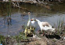 Lac Amghass II, Azrou (22/03/17). Lac, rivère, eau, faune, floore, nature, environnement, oies, oiseaux sauvages