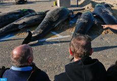 epa05007603 Bystanders look at a group of whales that were found washed to a beach in Calais, France, 02 November 2015. A group of what local media said were pilot whales stranded on a Calais beach earlier this morning but despite huge efforts of local residents and animal protection activists only three of the mamals could be dragged back into the sea.  EPA/LAURENT DUBRULE