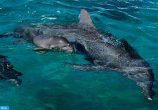 مجموعة من العلماء الشيليين يتمكنون من تصوير نوع نادر من الدلافين