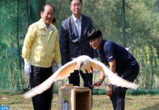 réintroduction de l'ibis nippon en Corée du Sud