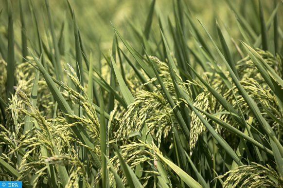 exportations de riz