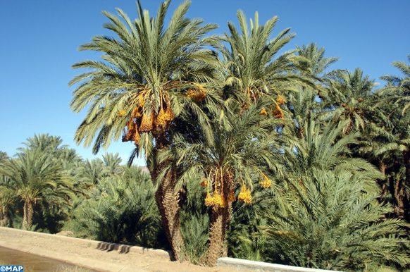 Culture du palmier dattier dans les oasis de la vallée du Draa. (MAP/Brahim MARZAKI)