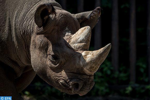crâne d'un rhinocéros