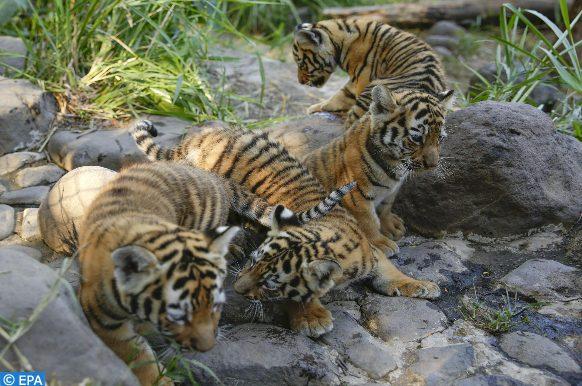 Cinq tigres