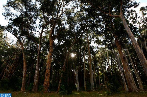 l'eucalyptus, un facteur favorisant les feux de forêts