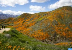 epaselect epa07424020 People walk on a trail near the poppy fields blooming on the slops of Walker Canyon near Lake Elsinore, California, USA, 08 March 2019. The heavy rains in California have boosted the growth of wild desert flowers, an occurrence called super bloom.  EPA-EFE/ETIENNE LAURENT
