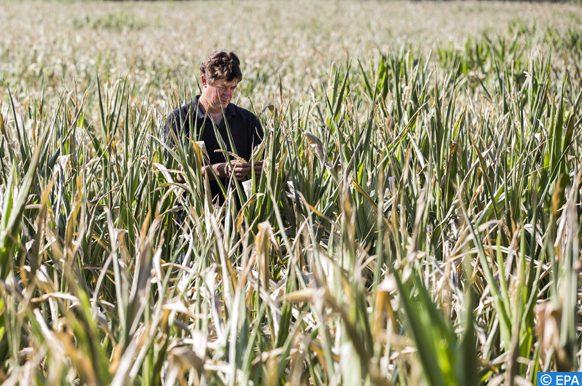 culture d'un maïs