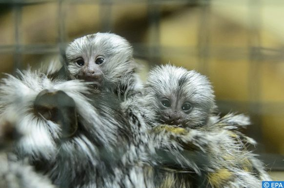 deux bébés Ouistiti