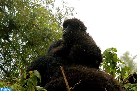 bébés gorilles