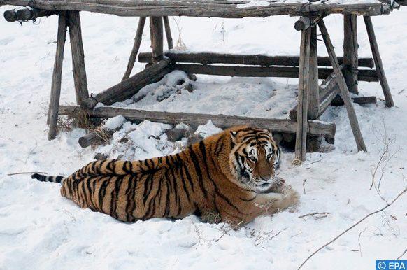 tigres d'Amour