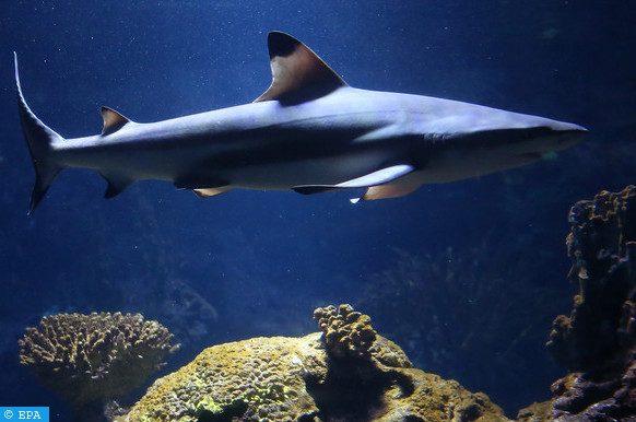 requin de 314 kilos