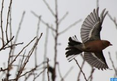 epa05681150 A Chardonneret bird flies near the West Bank City of Nablus, 18 December 2016.  EPA/ALAA BADARNEH
