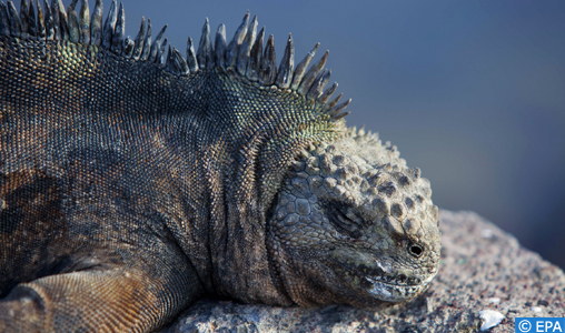epa02601570 A photograph made available on 25 February 2011 shows a marine iguana (Amblyrhynchus cristatus) in Santa Cruz, on the Galapagos Islands, Ecuador, 15 January 2011. During this time of year, iguanas are known to nest near towns and villages. The National Park of Galapagos has launched a campaign for to educate people on coexisting with these animals during this period of the year.  EPA/JOSE JACOME
