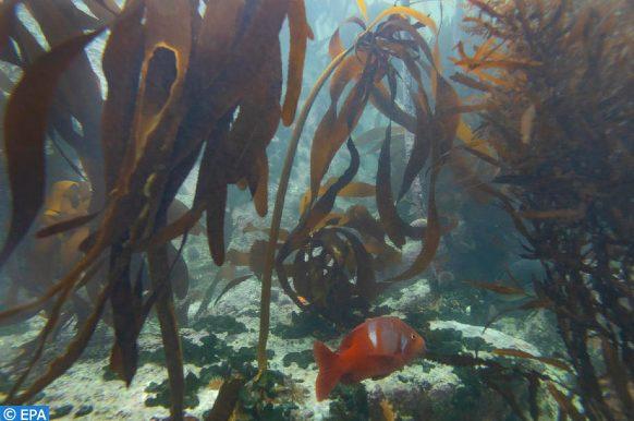 espèce d'algues rouges
