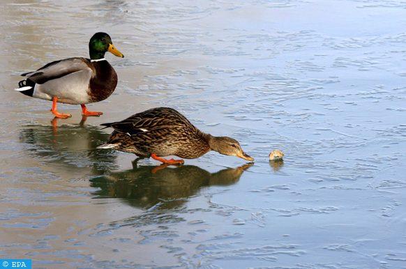 تراجع أعداد طيور البط بمنتزه (لاس تابلاس دي دايميل) بإسبانيا