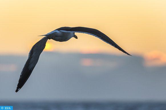 """إدراج طائر """"غافيوتين تشيكو"""" ضمن خانة الأنواع المهددة"""