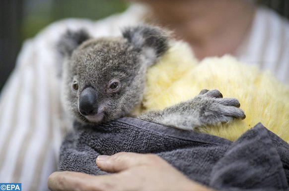 epa08146224 A rescued koala is seen at the animal hospital at the RSPCA headquarters inBrisbane, Australia, 21 January 2020.  EPA-EFE/GLENN HUNT AUSTRALIA AND NEW ZEALAND OUT