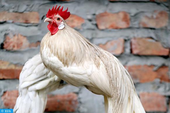 une poule qui cherche la liberté