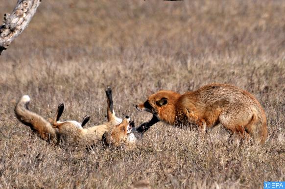 Des renards